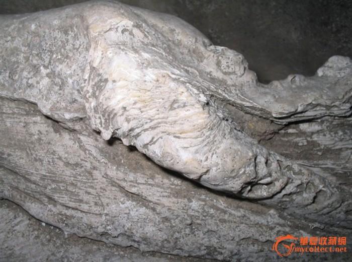 砗磲是双壳类中最大的种类