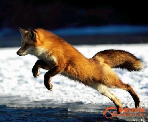 壁纸 动物 狐狸 桌面 519_426