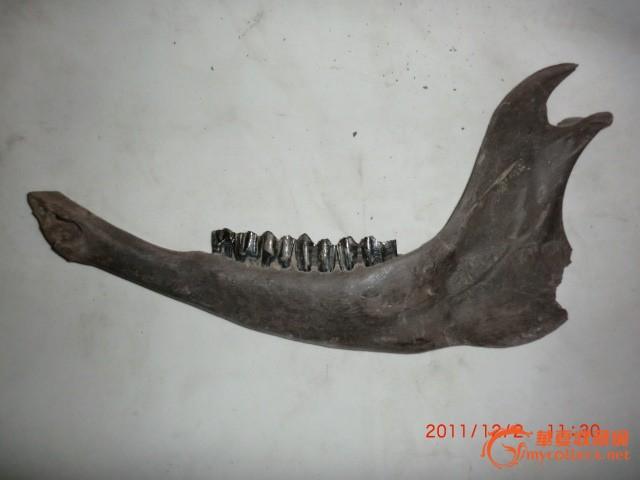 动物牙齿化石_动物牙齿化石价格