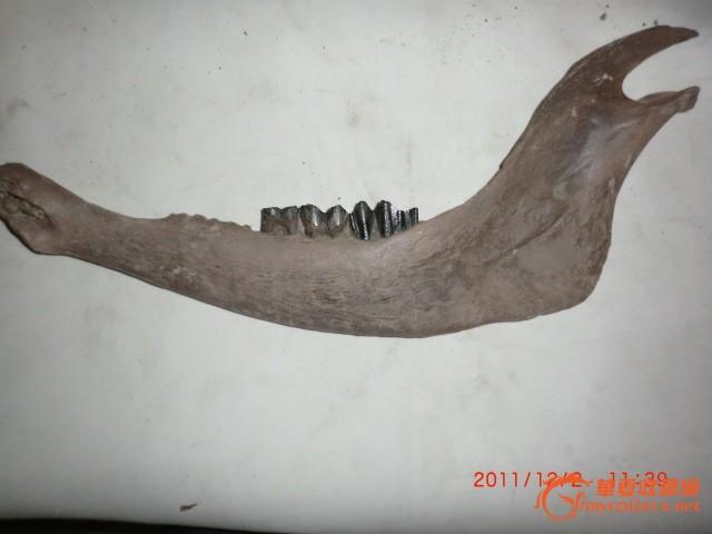 动物牙齿化石