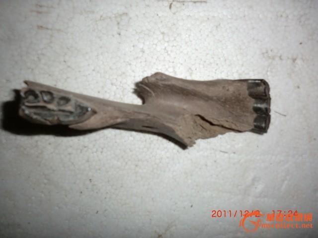 动物牙齿化石-图2